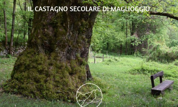 ALBERI MONUMENTALI DEL VCO: IL CASTAGNO DI MAGLIOGGIO